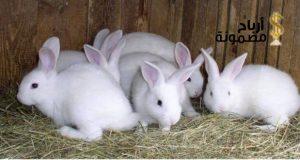كيفية الربح من مشروع الأرانب