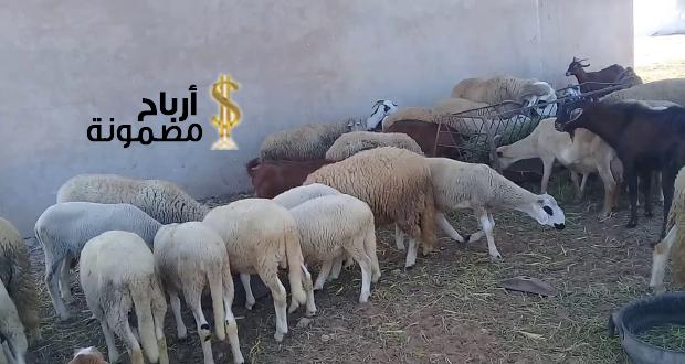كيف أربح من تربية الماعز