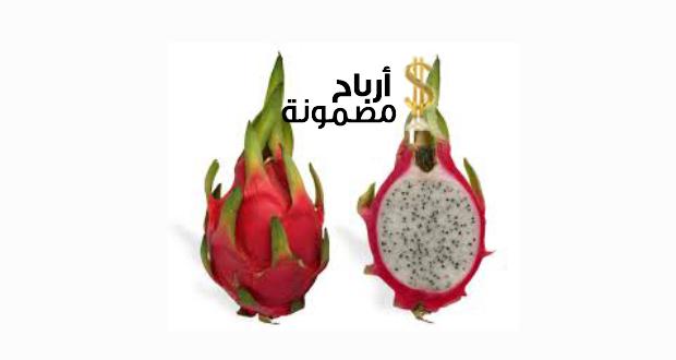 دراسة جدوى زراعة فاكهة التنين