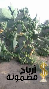 مشروع زراعة التين الشوكي