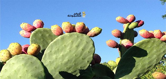Photo of مشروع زراعة التين الشوكي وطريقة زراعته بالتفصيل