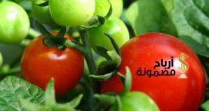 زراعة الطماطم فى المنزل