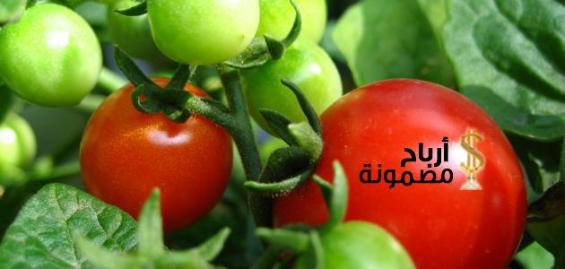 Photo of زراعة الطماطم فى المنزل على خمس مراحل
