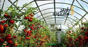 زراعة الطماطم في البيوت المحمية