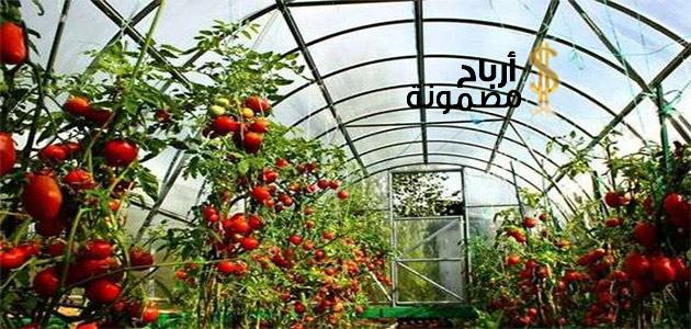 Photo of زراعة الطماطم في البيوت المحمية وأهم النصائح لزراعتها