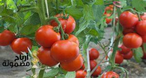 وقت زراعة الطماطم في السعودية